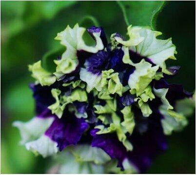 9: bateau libre Garden Pétunia pétales de fleurs Graines de jardin Pétunia Semillas De pétunias, 40 graines