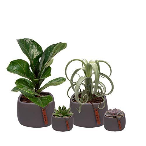 Set van 4 planten met bijpassende grijze plantenpotten - kamerplanten voor binnen met verschillende groottes - Kurt