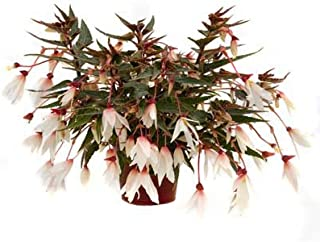 Begonia - Bossa Nova Pure White F1 - Flower Seeds