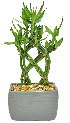 Costa Farms Lucky Bamboo Live Indoor Tabletop Plant in Modern Home Decor 5-inch Brown-Black Ceramic...
