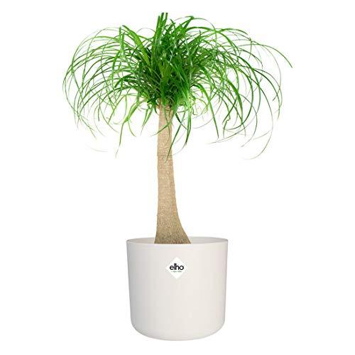 Kamerplant van Hellogreen - Olifantspoot Beaucarnea - Hoogte: 80cm - in ELHO sierpot wit