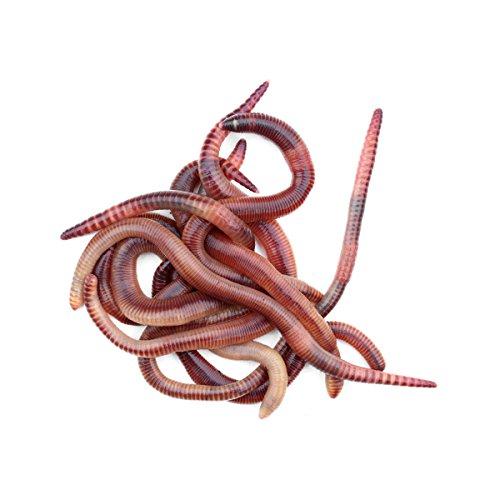 proinsects Dendrobena mittel 0,5 kg - Regenwürmer - Kompostwürmer - Angelwürmer