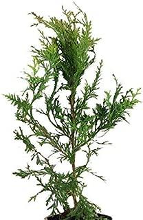 10 Thuja Green Giant Arborvitae 8-12