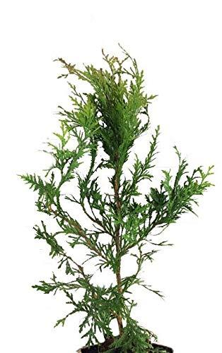 "10 Thuja Green Giant Arborvitae 8-12"" tall trees"