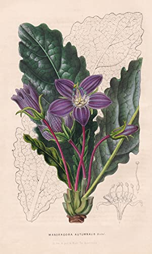 Mandragora Autumnalis - South Europe Blume flower flowers Blumen Botanik botanical botany
