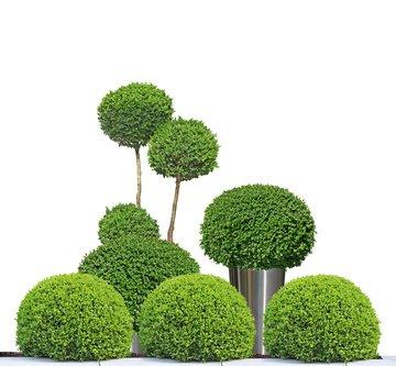 Lebensbaum Thuja occidentalis 20 Samen