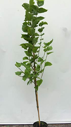Schwarzer .Kultur-Maulbeere Illinois Everbearing Baum ca.160 cm.Maulbeeren.Шелковица