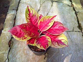 prime vista 50 Stück/Beutel Aglaonema 'Pink Dud', schöne Mosaik Pflanzen mehrjährige immergrüne Bäume Blumensamen, Zimmerpflanze Hausgarten vergossen 8