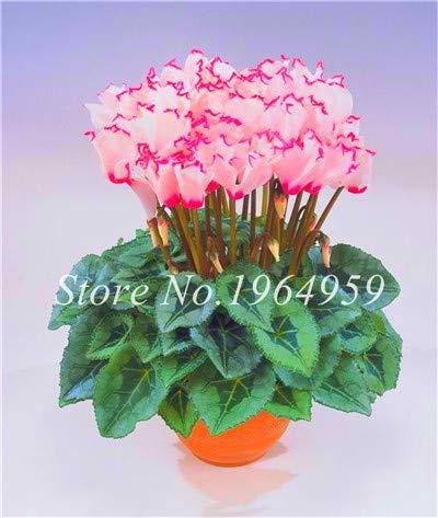 Pinkdose Bonsai Blumen Pflanze Bonsais Indoor Topf Balkon Alpenveilchen Bonsais Mischfarben Beauty Your Home Garden 100 Stück/Beutel: 7