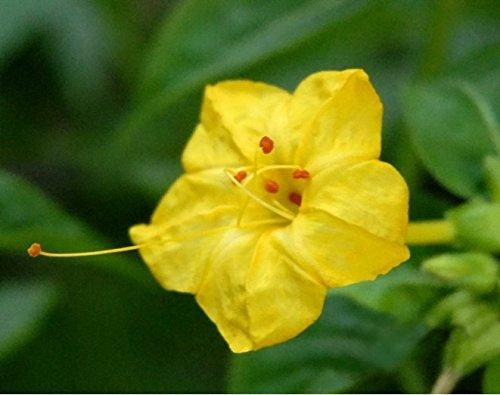 Les fleurs d'emballage d'origine Huang Moli graines 20 graines / paquet