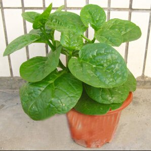 Balcon semences de légumes, plats de nutrition Malabar semences d'épinards, Basella graines bonsaï végétales 30pcs