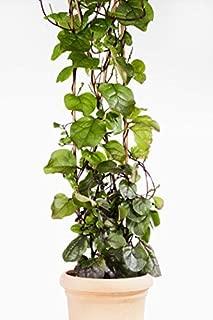 100 Red Stem Malabar Climbing Spinach Seeds - Basella rubra