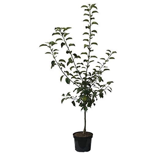Müllers Grüner Garten Shop Apfelbaum Rubinette® Geschmackssieger! Spindelbaum Terrassenobst Balkonobst 120-150 cm 7,5 L Topf M9