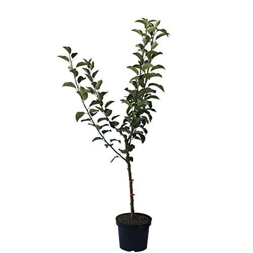 Müllers Grüner Garten Shop Familienbaum Vierling Kinderapfelbaum: Discovery Nela Rubinola Topaz auf einem Apfelbaum M7