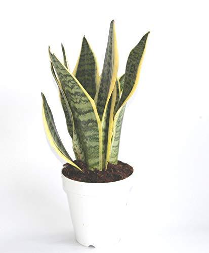Sanseviera trifasciata (maceta 13 cm Ø)