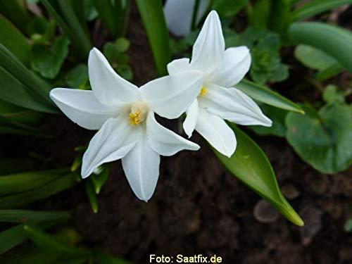 50 Blumenzwiebeln Scillazwiebeln Scilla siberica Alba