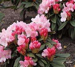 Mardi Gras Rhododendron - Live Plant - Quart Pot