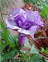 Flower seeds BLACK CURRENT SWIRL Angels Trumpet Datura seeds Fragrant Purple Double/Triple garden decoration flower 50pcs
