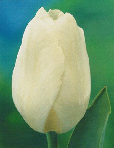 Tulpenzwiebeln White Prince Blumenzwiebeln (50 Blumenzwiebeln)