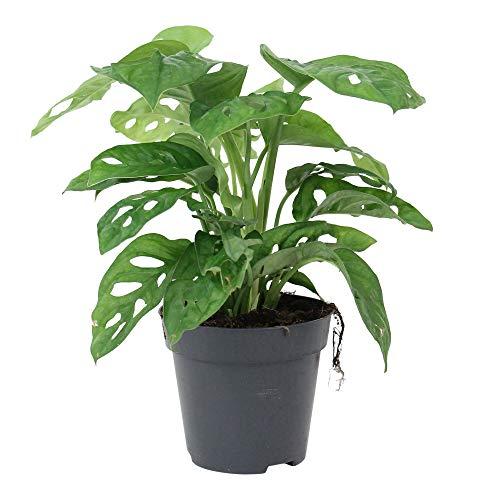 "Monstera obliqua""Monkey Leaf"" | Fensterblatt | Luftreinigend | Höhe 20-30cm | Topf-Ø 12cm"