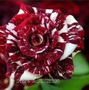 100PCS Fleur Rose Graine Hollande Graine Amoureux Cadeau Orange Vert arc-en-RARE Couleur 24 Bricolage choisir le jardinage Fleur 3