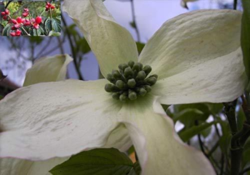 Cornus florida - ostamerikanischer...