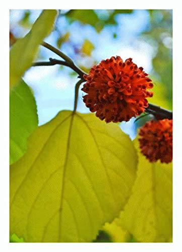 TROPICA - Papiermaulbeerbaum (Broussonetia papyfera) - 200 Samen