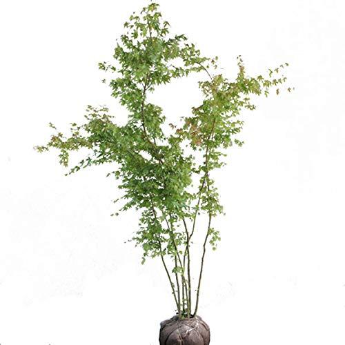 相馬グリーン(Somagreen) イロハモミジ 株立ち 樹高1.5~1.8m (根鉢含まず) 季節の移り変わりを楽しめる落葉樹