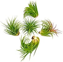 5 Ionantha Tillandsia Air Plant Pack, Each 2 to 3.5 Inches Long, Live Tropical House Plants for Home Decor, Indoor...