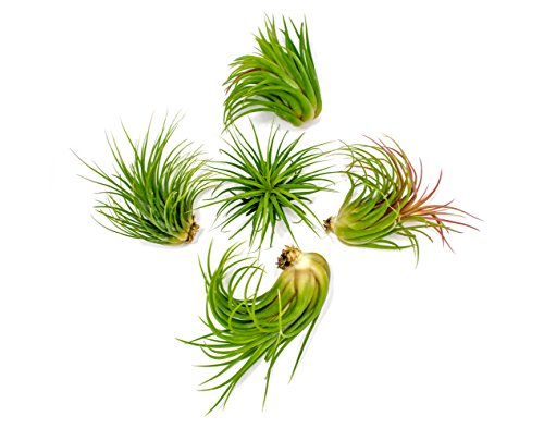 5 Large Ionantha Tillandsia Air Plant Pack  Each 2 to 35 Inches Long  Live Tropical House Plants for Home Decor  Indoor Terrarium Air Plants