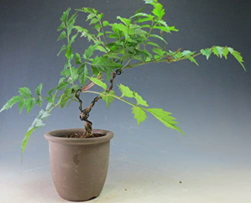 盆栽 ノウゼンカズラ(オレンジ花)盆栽仕立ての鉢植え