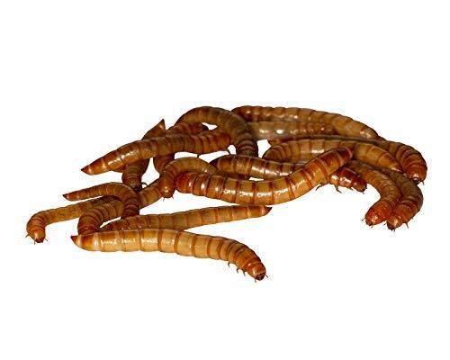 Feeders & more 50g Mehlwürmer in der Dose, lebend für Reptilien, Vögel, Nager, Angelköder 100g/5,98EUR