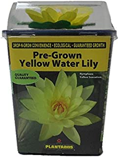 Hot Sale! Live Aquatic Plant, Hardy Pre-Grown Yellow Water Lily Nymphaea Venusta (1 each)