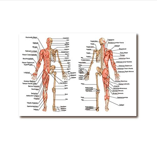 zhaoyangeng menselijke anatomie skeletprint dokterspraktijkij muurkunstposter menselijk decor bot- en spierbord canvas schilderij - 50 x 70 cm zonder lijst