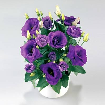 200pcs rares graines blanches Eustoma vivaces plantes à fleurs Balcon fleurs en pot Graines lisianthus pour planteur de pot de fleur 2
