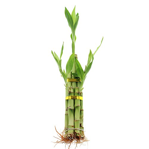 Live Lucky Bamboo 5 Stalk Arrangement - Live Indoor Plant for Home Decor, Arts &...