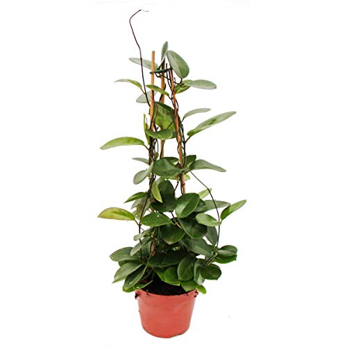 Exotenherz - Hoya australis - Porzellanblume - Wachsblume - 17cm Pyramide