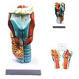 Modelo de Enseñanza de Anatomía Humana, Modelo de...