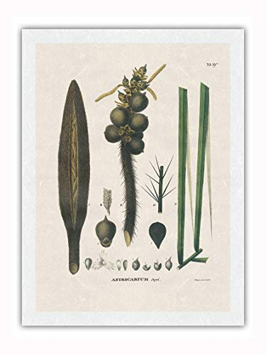 Palmera Corioco (Astrocaryum Gynacanthum) - Flor y Semilla - Ilustración botánica de Carl Friedrich Philipp von Martius c.1800s - Impresión de Arte Papel Premium de Arroz Unryu 61x81cm