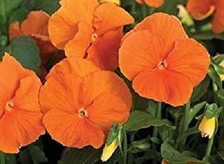 50 Seeds - Pansy Karma Deep Orange Spring Seeds