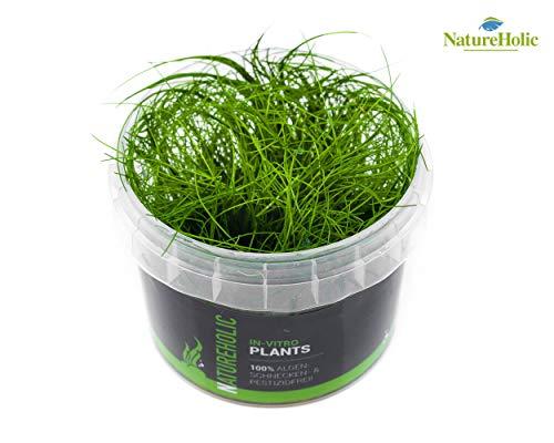 Nadelsimse/Eleocharis acicularis - NatureHolic In-Vitro Aquarium Pflanze