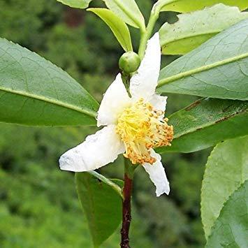 Potseed - Semillas de Camellia sinensis