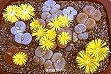 100 % auténticas semillas mezcla Lithops plantas suculentas siembran plantas raras, semillas orgánicas Bonsai