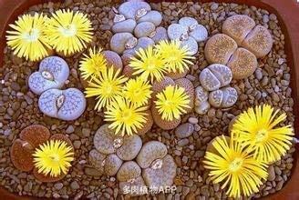 100% authentiques graines Mix Lithops Plantes succulentes semences des plantes rares, Bonsai semences biologiques