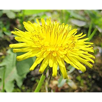 What Are Dandelion Seeds Used For Fundamentals Explained