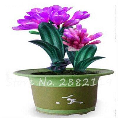 100 Pz misti Clivia semi, perenne fiore Pianta in vaso, colore multiplo scegliere, balcone pianta bonsai del fiore per il giardino decorazione 10
