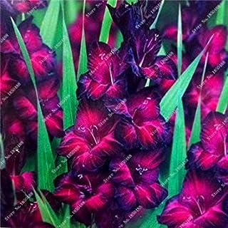 Virtue 2 piezas bulbos de gladiolo, flor de gladiolos (no semillas de gladiolo) hermosos bulbos de flores simboliza la nostalgia, planta de jardín de casa Bonsai 22