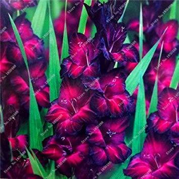 Virtue 2Pcs Gladiolus Zwiebeln, Gladiole Blume (nicht Gladiolen Samen) Schöne Blumenzwiebeln symbolisiert Nostalgie, Hausgarten Pflanze Bonsai 22