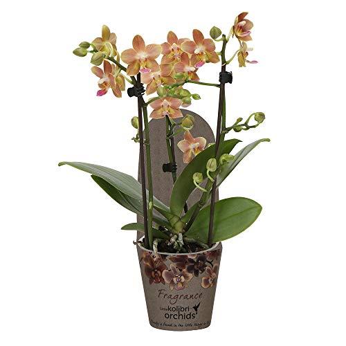 "Phalaenopsis""Fragrance Orange"" | Schmetterlingsorchidee inkl Ziertopf | Orange und rosa Blüte | Höhe 30-40cm | Topf-Ø 9cm"