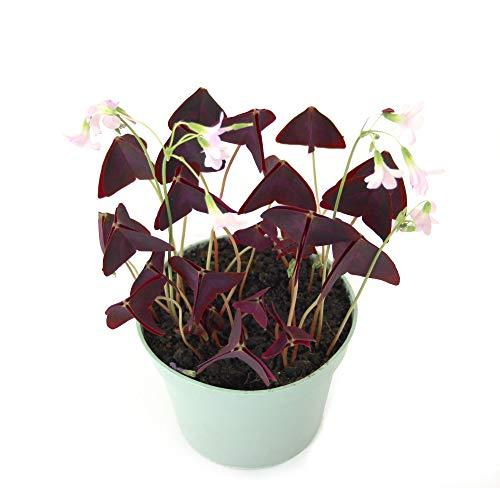Isenzo Oxalis Triangularis Roter Glücksklee, Dreiecksklee Glück Klee Pfalnze Zimmerpflanze Balkonpflanze lebende Pflanze im Topf